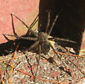 found on our doorstep - Dolomedes scriptus