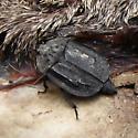 Carrion Beetle - Oiceoptoma inaequale