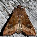 Veiled Ear Moth - Loscopia velata