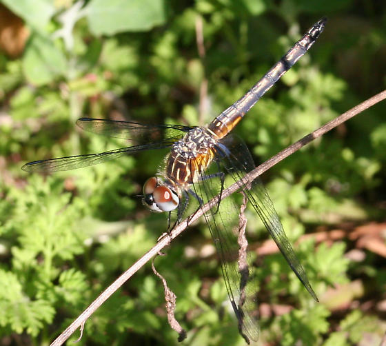 Which dragonfly, please? - Pachydiplax longipennis - male