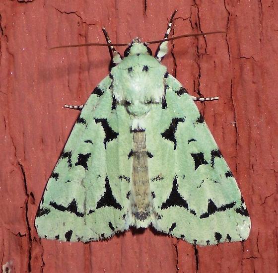 Agriopodes fallax - Acronicta fallax