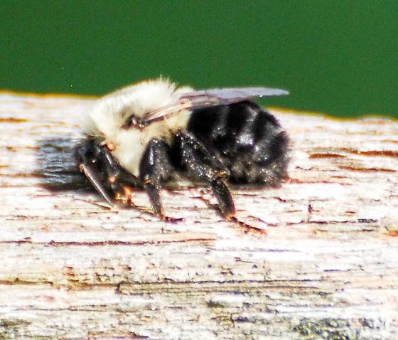 Bee on Fence with Furry Abdomen - Bombus impatiens