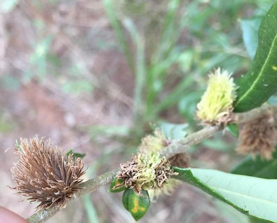 Andricus quercusfoliatus? - Andricus quercusfoliatus
