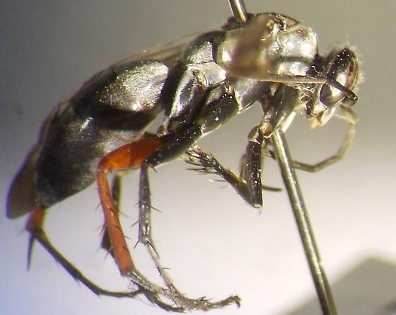 Episyron canterminus? - Episyron - female