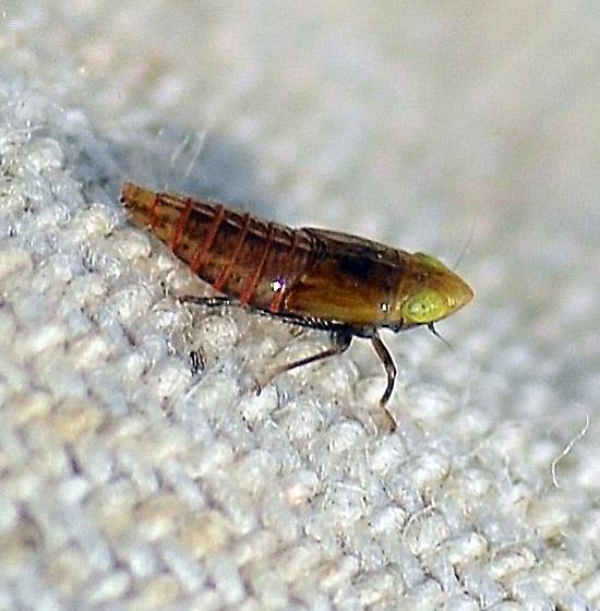 Leafhopper Nymph - Stirellus bicolor