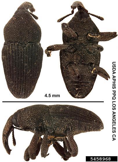 Orchidophilus aterrimus