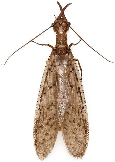 Male, Corydalus texanus? - Corydalus texanus - male