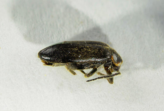 Scirtid of sorts... - Elodes maculicollis