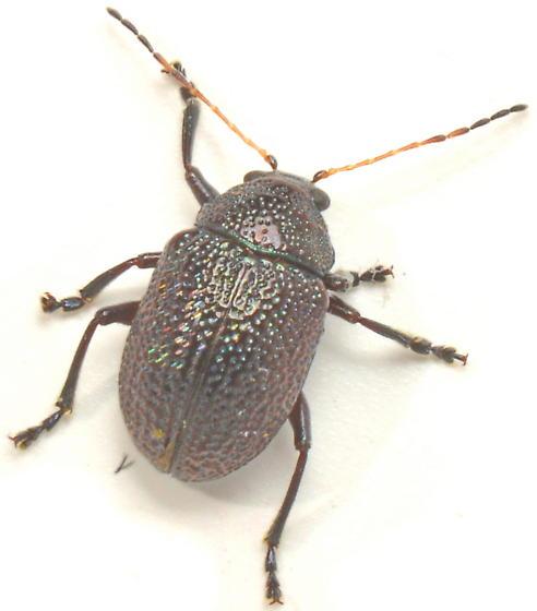 N3? - Colaspis brownsvillensis
