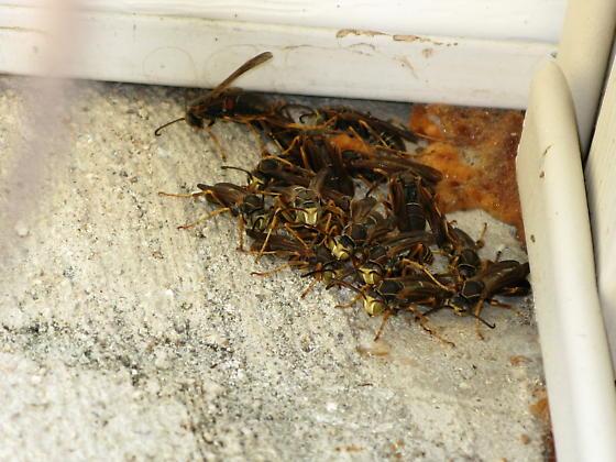 Congregation of male wasps? - Polistes fuscatus - male