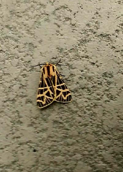 A moth perhaps  - Apantesis ornata