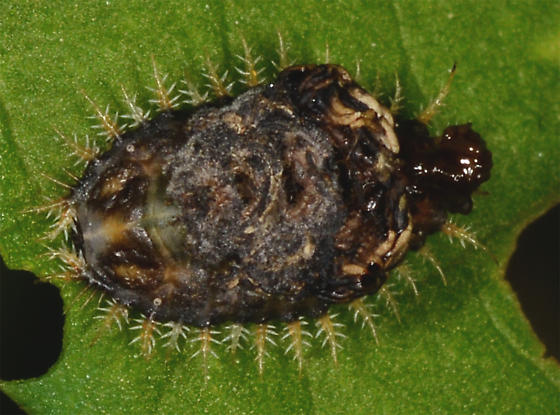 beetle nymph ?