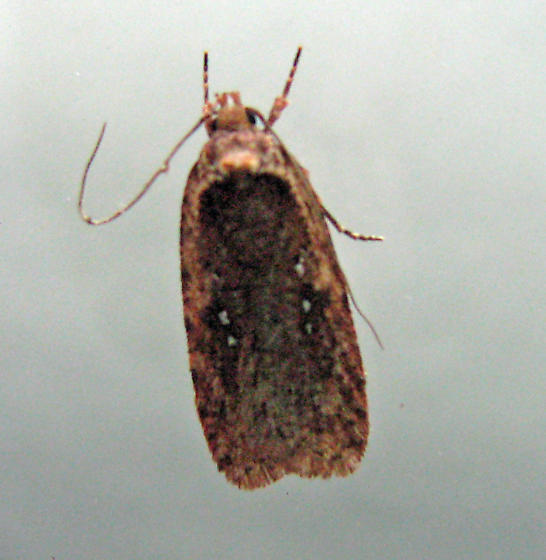 Agonopterix, probably 0889 - Agonopterix argillacea