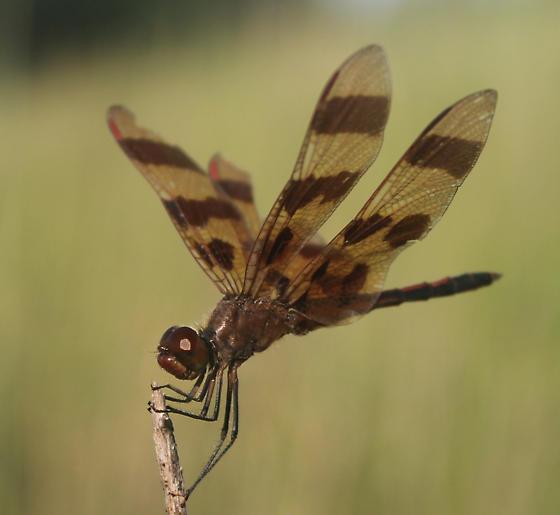 What kind of dragonfly? - Celithemis eponina