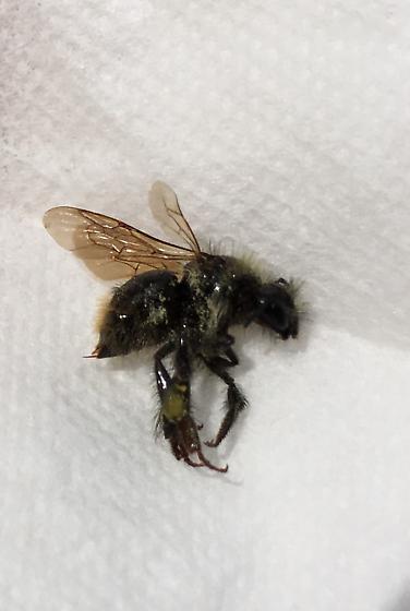 Female Black bee - Bombus mixtus - female