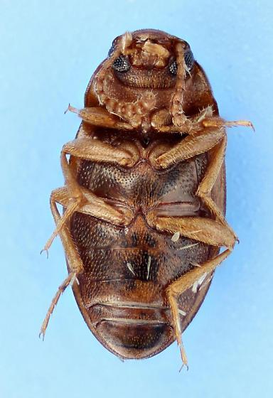 already been there - Alphitophagus bifasciatus