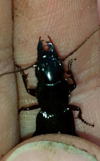 Pterostichus acutipes - Pterostichus