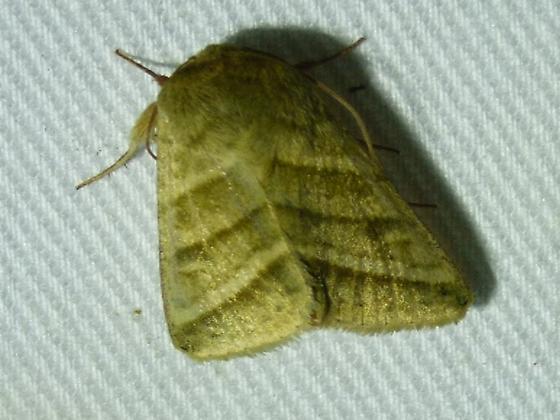 Chloridea subflexa - Subflexus Straw Moth - Chloridea subflexa