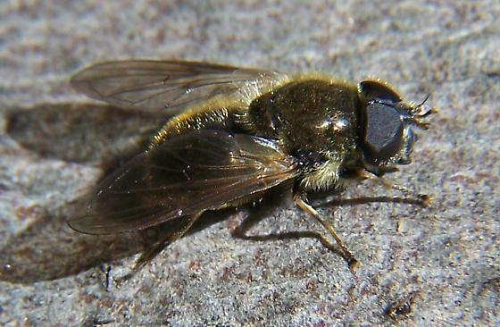 Syrphid - Cheilosia