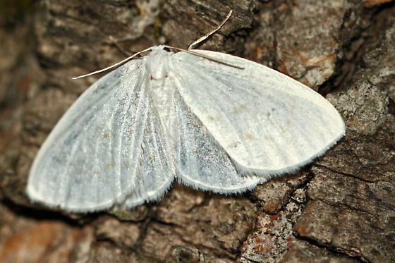 Northern Eudeilinia, Eudeilinia herminiata - Eudeilinia herminiata