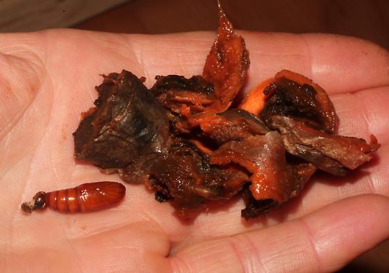 Papaipema, pupa  out of rotten carrot - Papaipema rigida