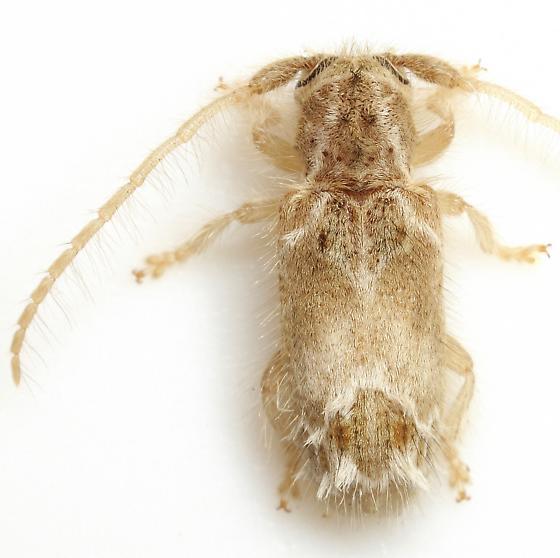 Desmiphora aegrota Bates - Desmiphora aegrota