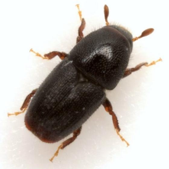 Scolytus rugulosus (Müller) - Scolytus rugulosus