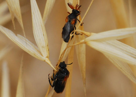 Wedge-shaped beetles: Ripiphorus diadasiae, maybe?  Both genders here; male is at top. - Ripiphorus sexdens - male - female