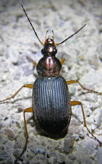 Tricolor Grund Beetle - Chlaenius