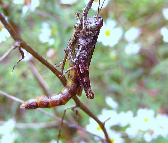 is this a new species - Melanoplus punctulatus - female