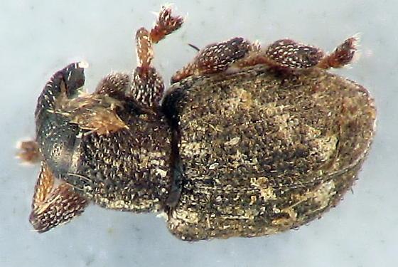 my smallest Curculionidae - Tanysphyrus lemnae