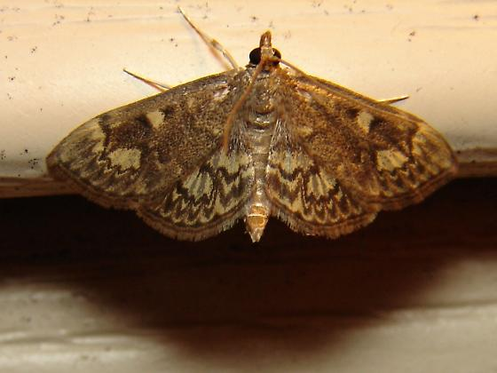 Illinois data point - Anania plectilis