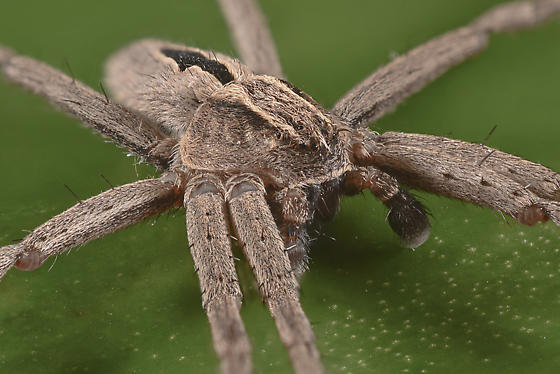 a grass spider? - Thanatus