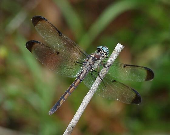 Dragonfly - Libellula vibrans - female
