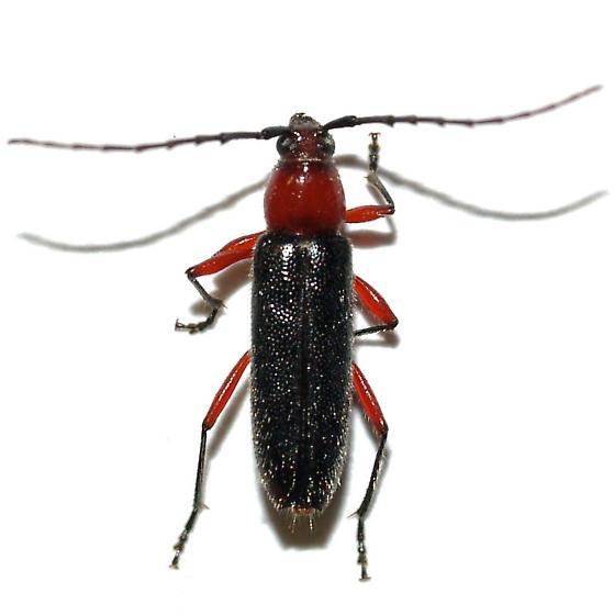 Cerambycid - Stenosphenus sobrius