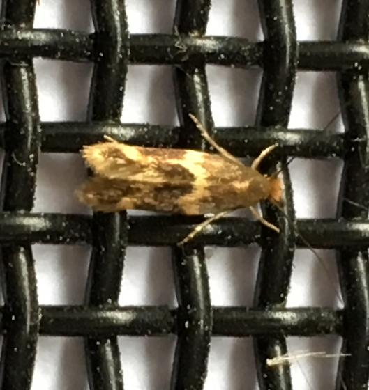 What moth is this? - Oinophila v-flavum