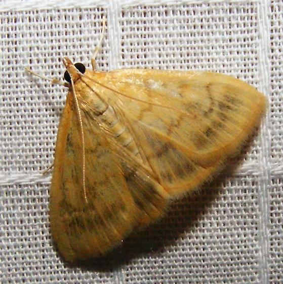 maybe European Corn Borer - Ostrinia nubilalis 04949 - Hahncappsia