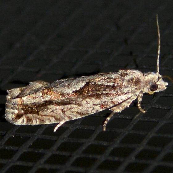Gretchena delicatana - female