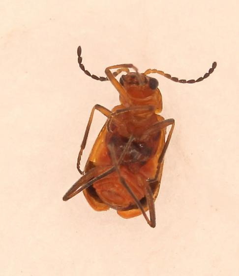 Tiny red and black beetle - Attalus