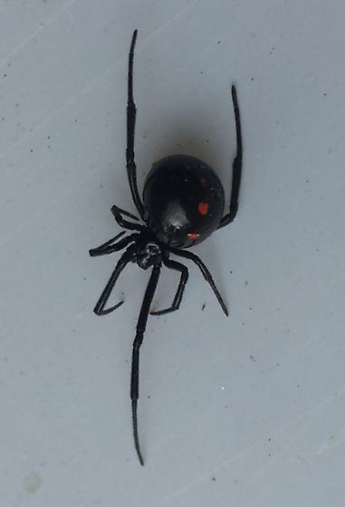 Southern black widow - Latrodectus mactans