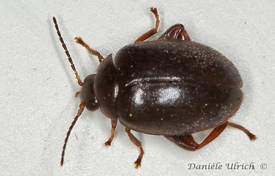 Coleoptera ? - Scirtes tibialis