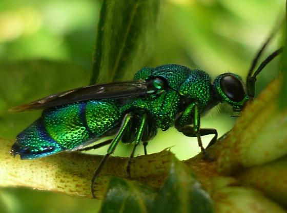 Cuckoo wasp - Chrysis smaragdula