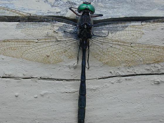 Mocha Emerald - Somatochlora linearis - male