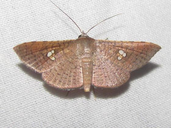 Sapodilla Borer Moth - Banisia myrsusalis