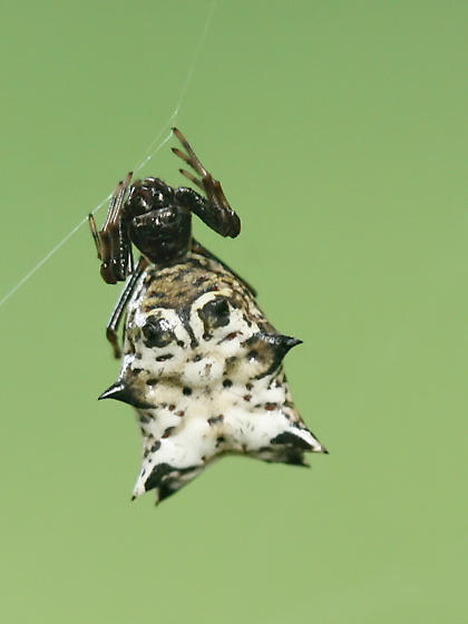 spined orb weaver  - Micrathena gracilis - female