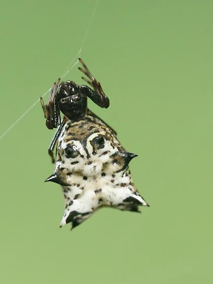 spined orb weaver  - Micrathena gracilis - female