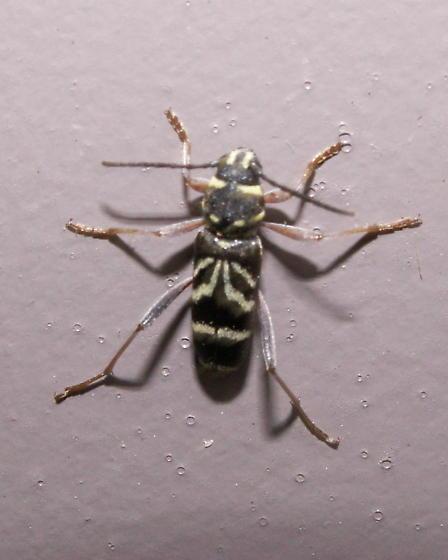 Long-horned Beetle - Xylotrechus nitidus