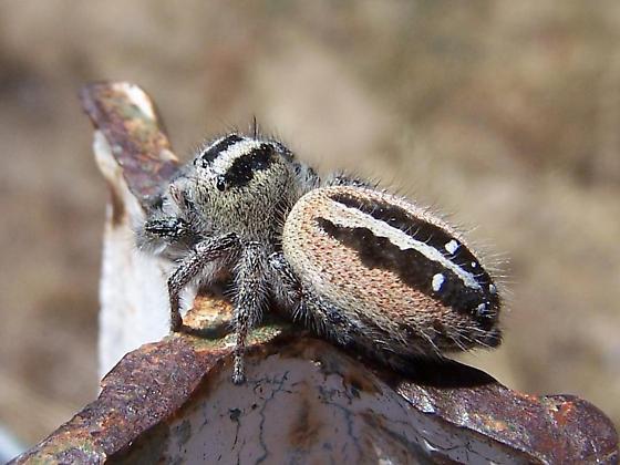 Large Jumping Spider - Phidippus californicus - female