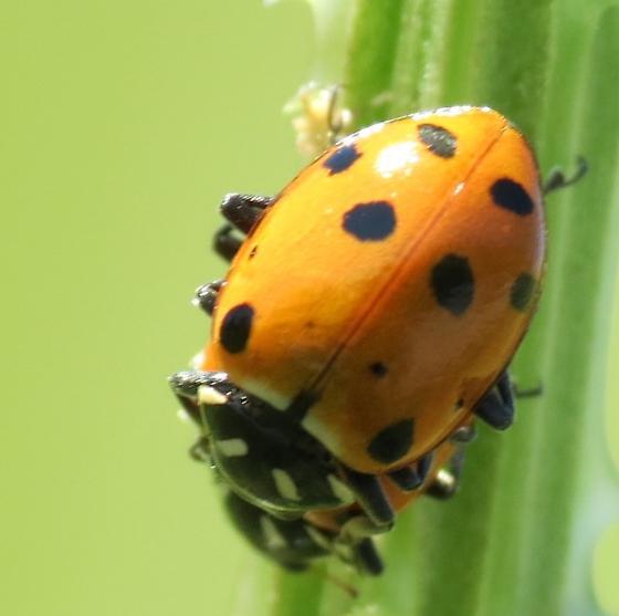 Beetle (Steigerwald Lake) - Hippodamia