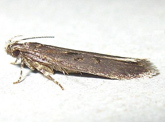 Twirler Moth - Chionodes abitus